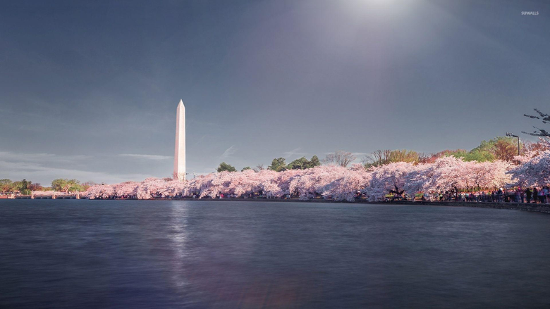 Cherry blossoms near Washington Monument wallpapers