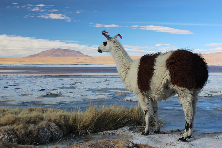 Llamas Bolivia Salt Wallpapers