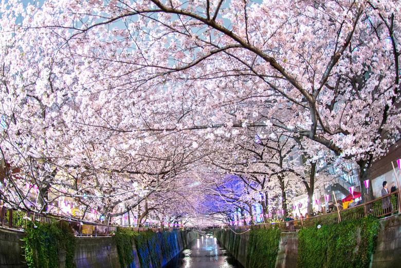 Japan s Cherry Blossom Wallpapers Barrett Ishida Medium