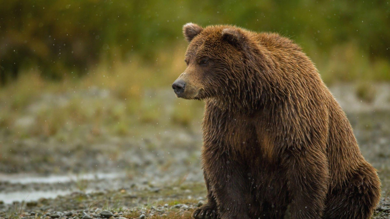 Awesome Bear Sitting Thick Hd Wallpapers Image Wallpapers