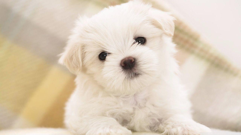 white fluffy puppy wallpapers 1280x720