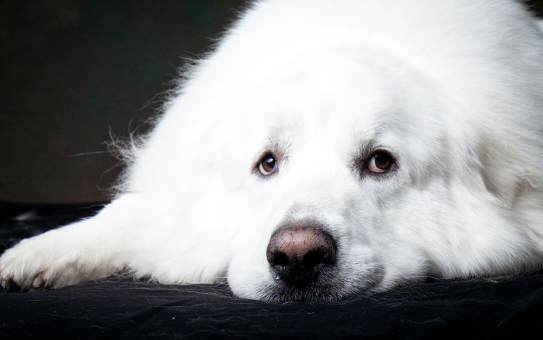 wallpapers 4k Great Pyrenees dogs pets cute animals muzzle Great Pyrenees Dog for desktop with resolution 3840x2400 High Quality HD pictures wallpapers