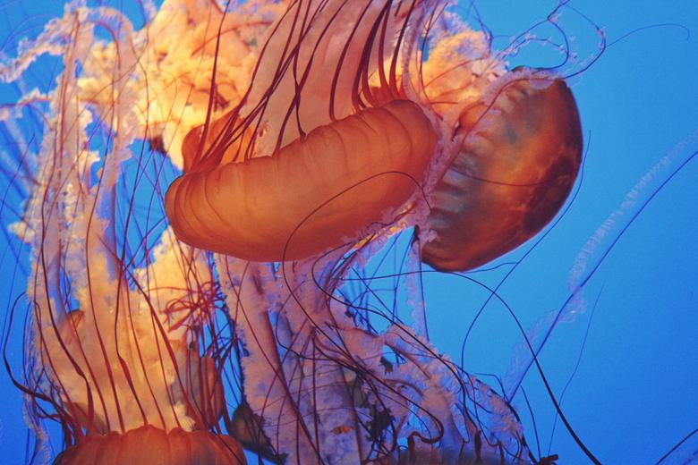 Jellyfishes at Monterey Bay Aquarium