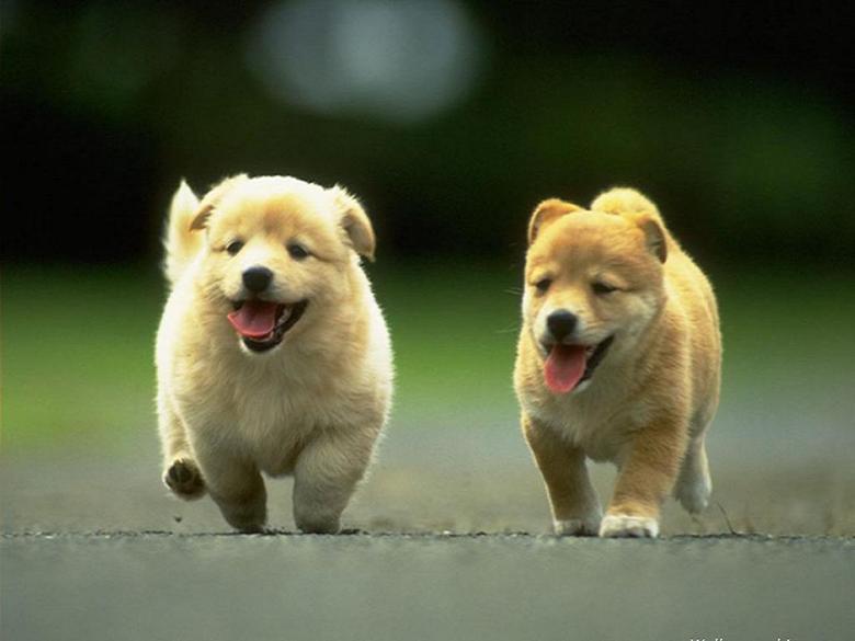 Welsh corgi puppies wallpapers