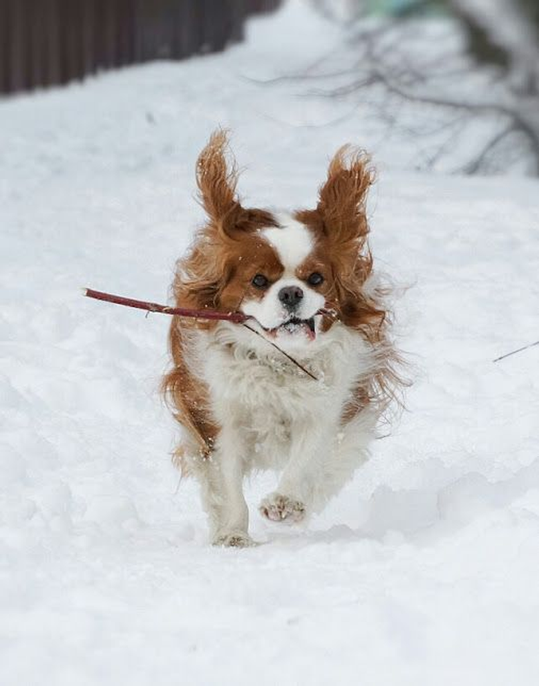 Cavalier King Charles Spaniel Winter