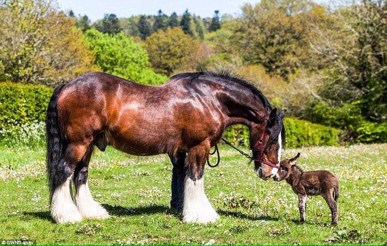 Big shire horse cute little donkey