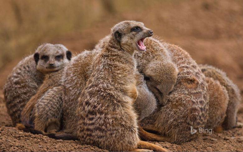 Meerkat Family Huddling Together