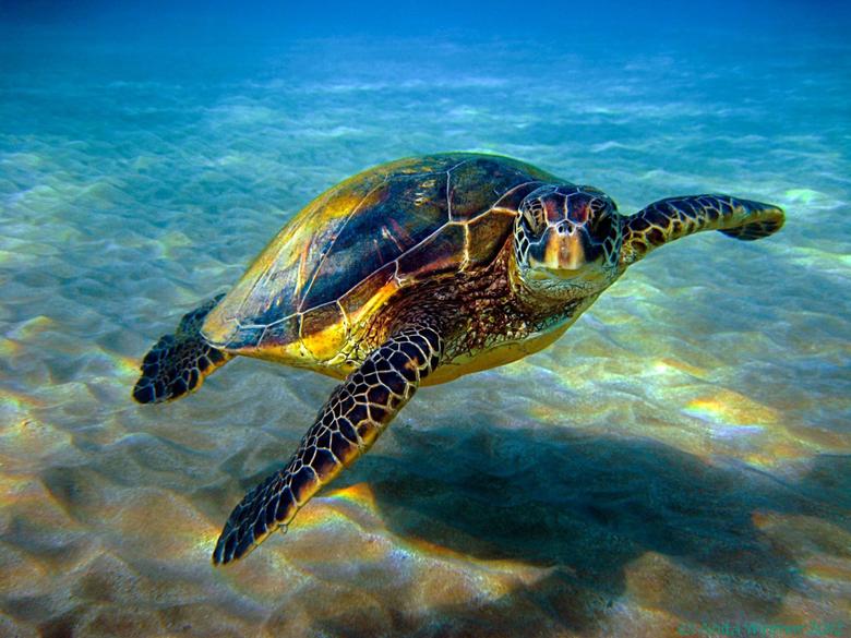 Sea Turtles Desktop Wallpapers