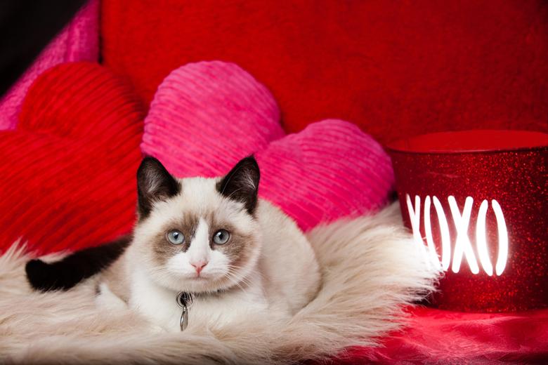 Valentine Kitten Wallpapers