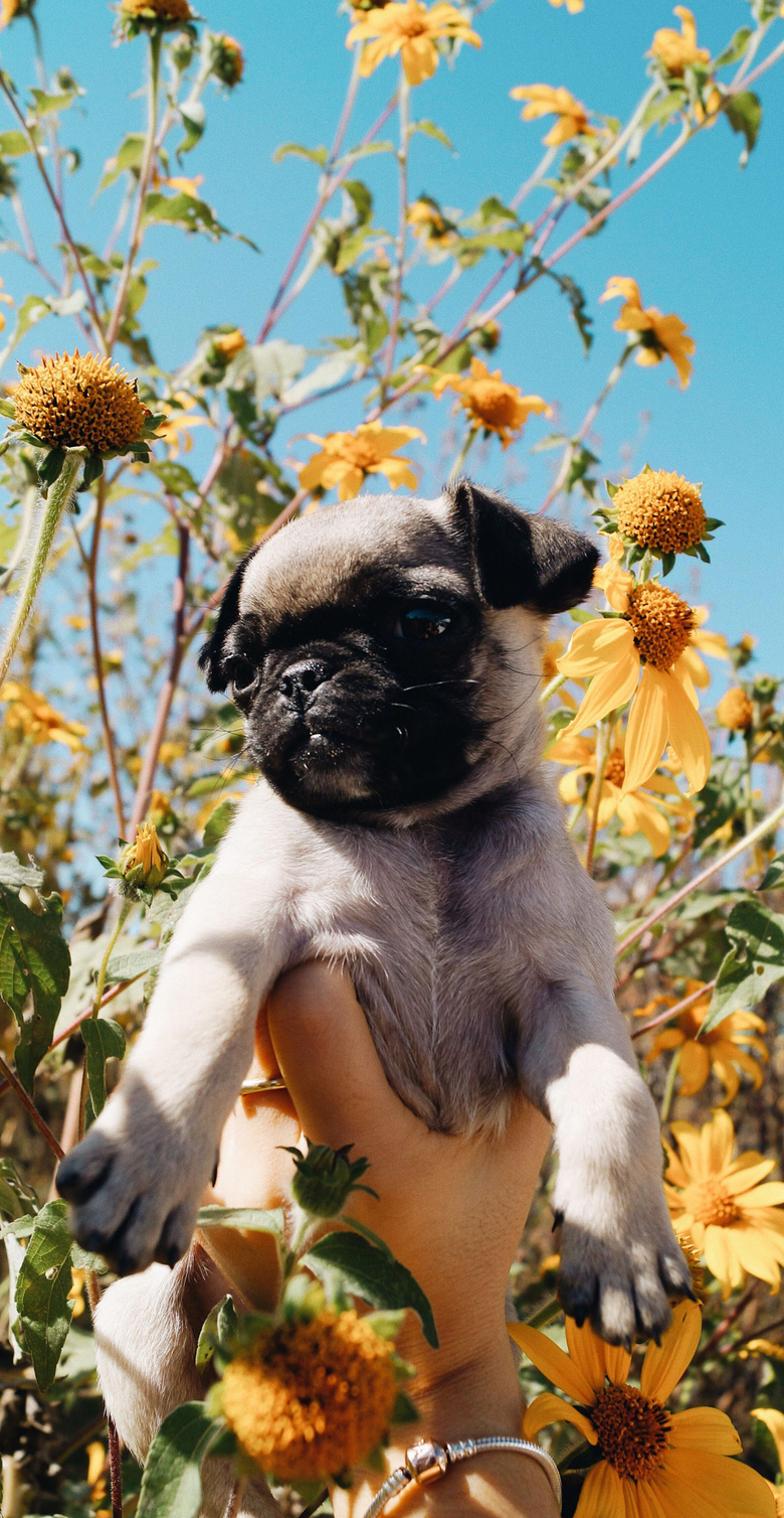 Pug puppy flower wallpapers tumblr dog wallpapers