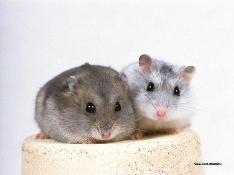 Cute Hamster Wallpapers