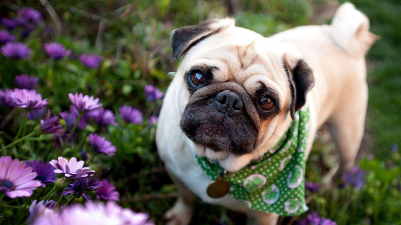 Cute Bulldog Puppies Wallpapers