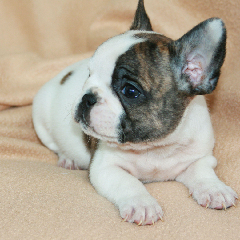 primary17 New French Bulldog Puppies Wallpapers