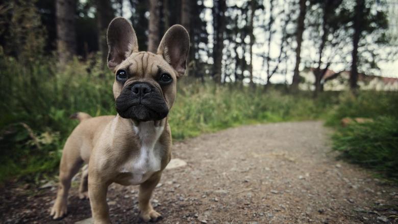 Dog Animals French Bulldog Wallpapers Hd Desktop