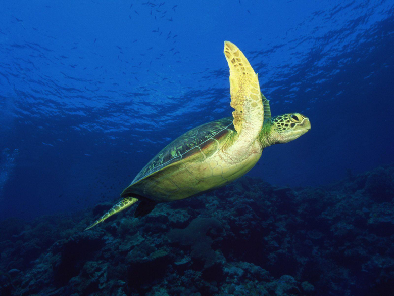 Top Wallpapers Sea Turtles Wallpapers