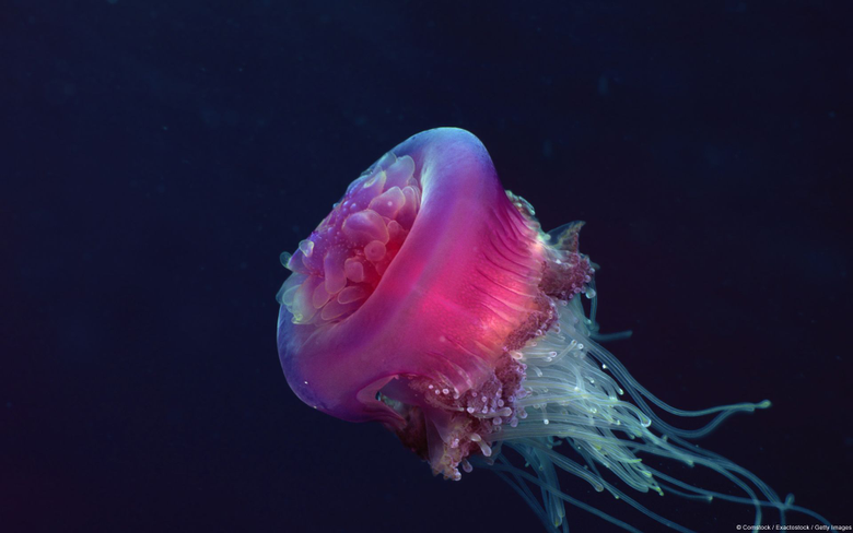 Crown Jelly Fish