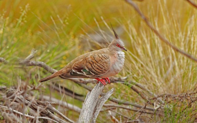 Crested Pigeon in Uluru Kata Tjuta National Park Australia