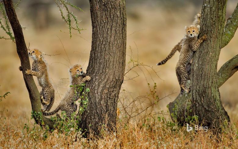 Cheatah Cubs