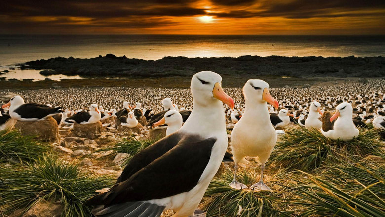 Black Browed ROW Albatrosses