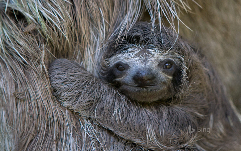 Brown Toed Sloth