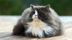 Big Fluffy Cat
