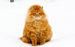 Fluffy cat Cats Cute animalspinterest