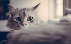 Big eyes gray cat wallpapers and image