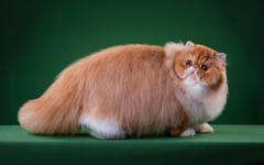 Ginger Persian Cat Big Fat Cat Fluffy teahub io