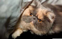 Persian Cat Wallpapers Group