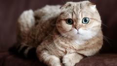 Scottish Fold Cat HD Wallpapers