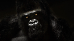 Gorilla Wallpapers 18