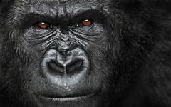 Gorilla Quotes QuotesGram