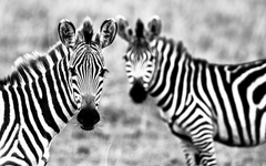 Animals Zebra Wallpapers Image Photos And Pictures
