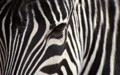 Zebra HD Wallpapers