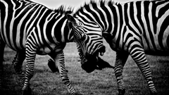 Animals Zebras Covers Wallpapers and Backgrounds on MobDecor