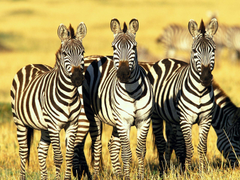 Burchell s Zebras Masai Mara Kenya Wallpapers