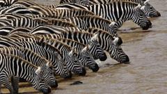Beautiful Zebra Wallpapers