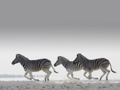 Zebras HD wallpapers