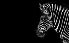 Wallpapers Zebra