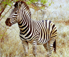 Zebra Animals High Defination Wallpapers Hq