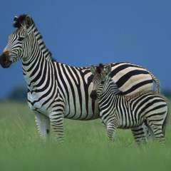 Baby Zebra Facts Wallpapers Info on Stripes What It s Called