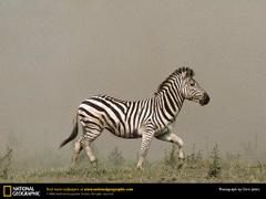 Zebra Picture Zebra Desktop Wallpaper Wallpapers