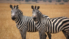 Two Cute Zebras Animal Wallpapers Hd Wallpapers13