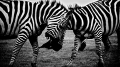 Fighting zebras HD desktop wallpapers Widescreen High
