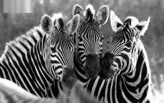 Stunning zebra hd wallpapers