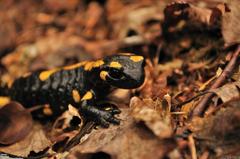 Top 80 Salamander Wallpapers