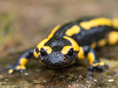 Black and yellow reptile fire salamander HD wallpapers