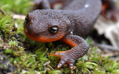 Amphibians Salamanders HD Wallpapers