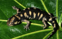 Tiger Salamander HD Wallpapers