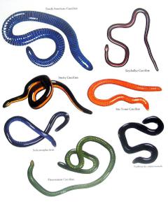 Caecilians Amphibians